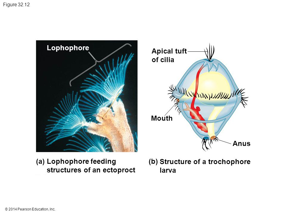 structures of an ectoproct (b) Structure of a trochophore larva