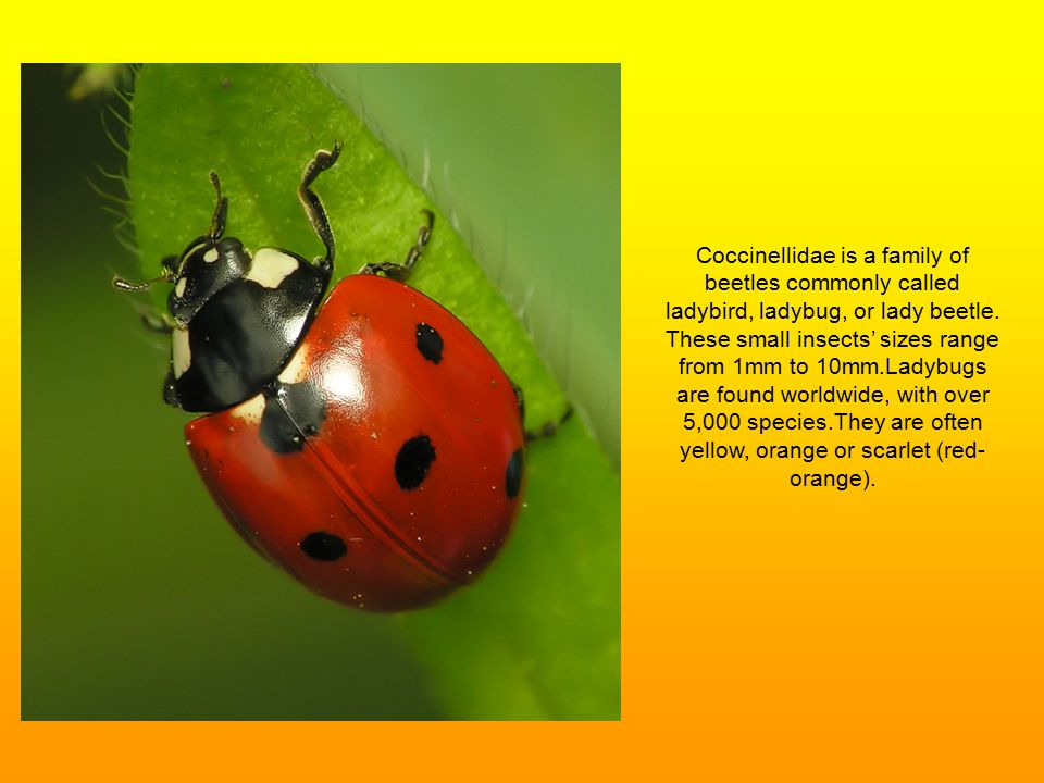 Coccinellidae is a family of beetles commonly called ladybird, ladybug, or lady beetle.