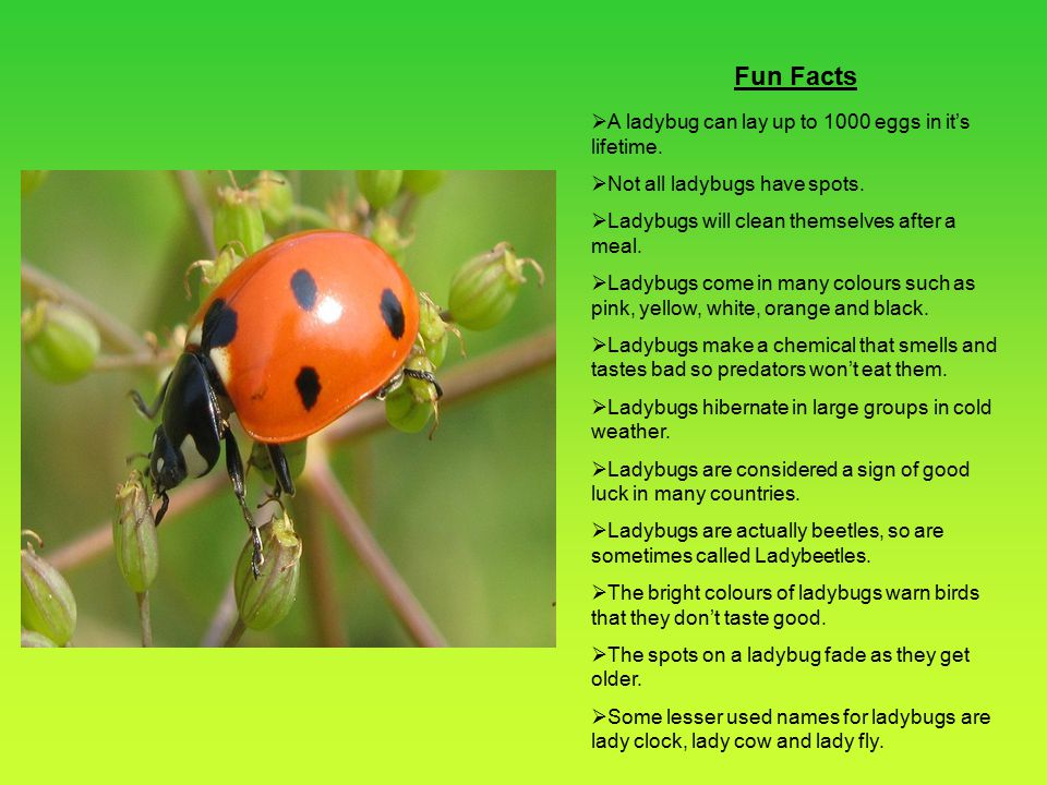 Fun Facts A ladybug can lay up to 1000 eggs in it's lifetime.