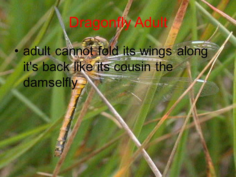 Dragonfly Adult adult cannot fold its wings along it s back like its cousin the damselfly