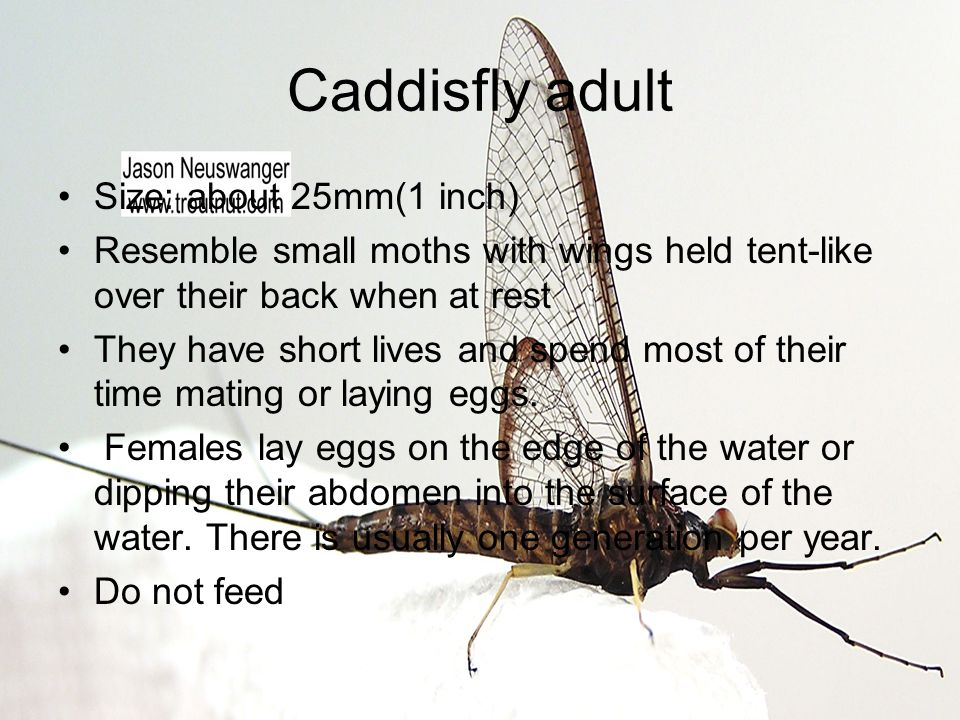 Caddisfly adult Size: about 25mm(1 inch)