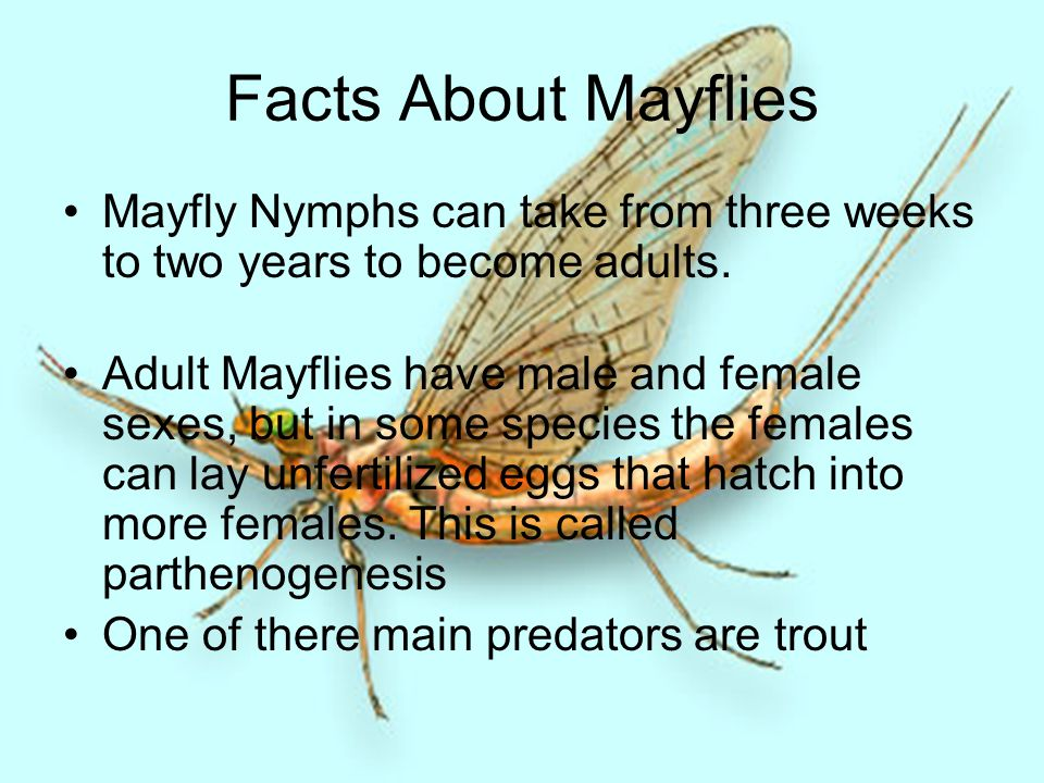 Facts About Mayflies Mayfly Nymphs can take from three weeks to two years to become adults.