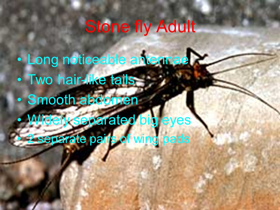 Stone fly Adult Long noticeable antennae Two hair-like tails