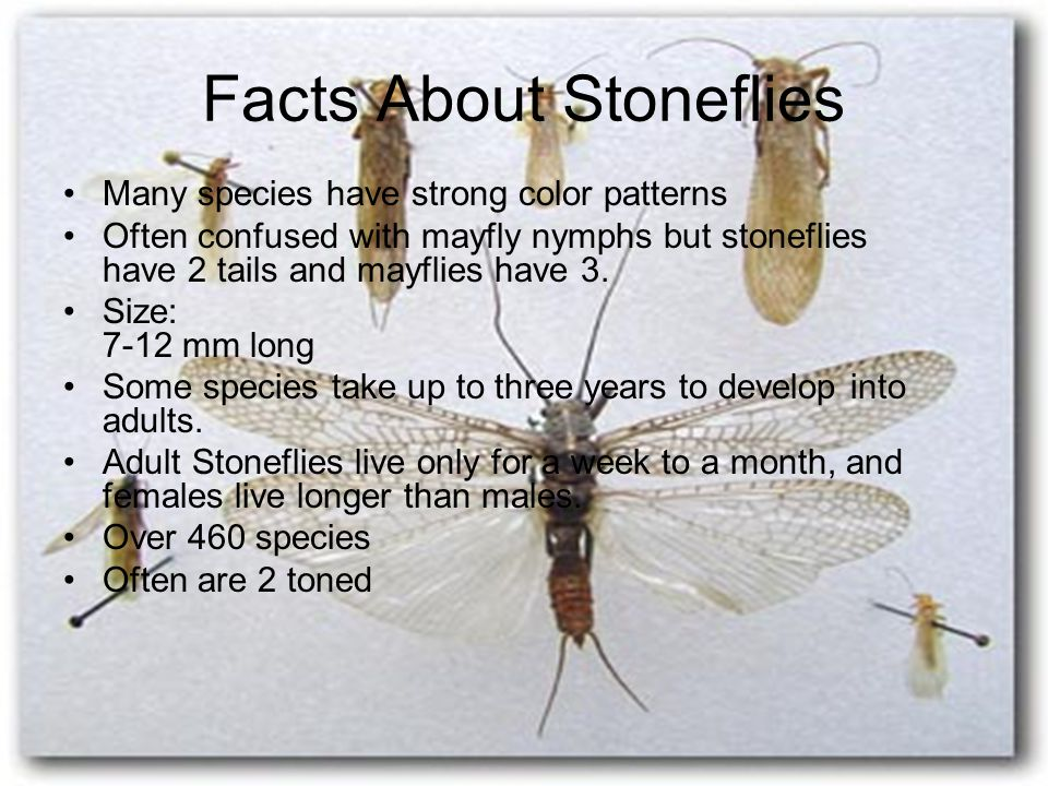 Facts About Stoneflies