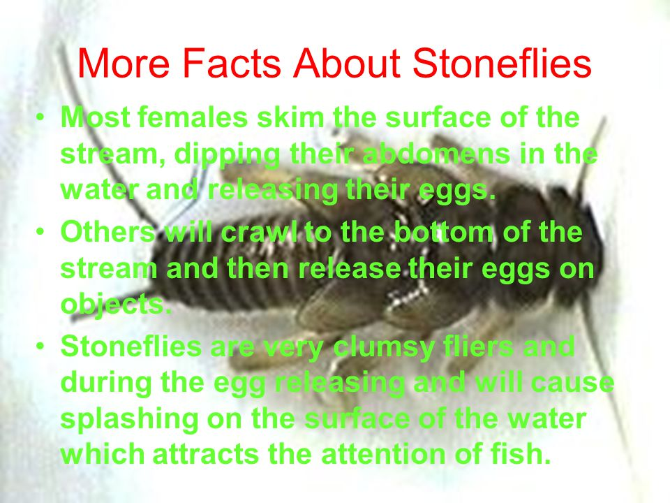 More Facts About Stoneflies