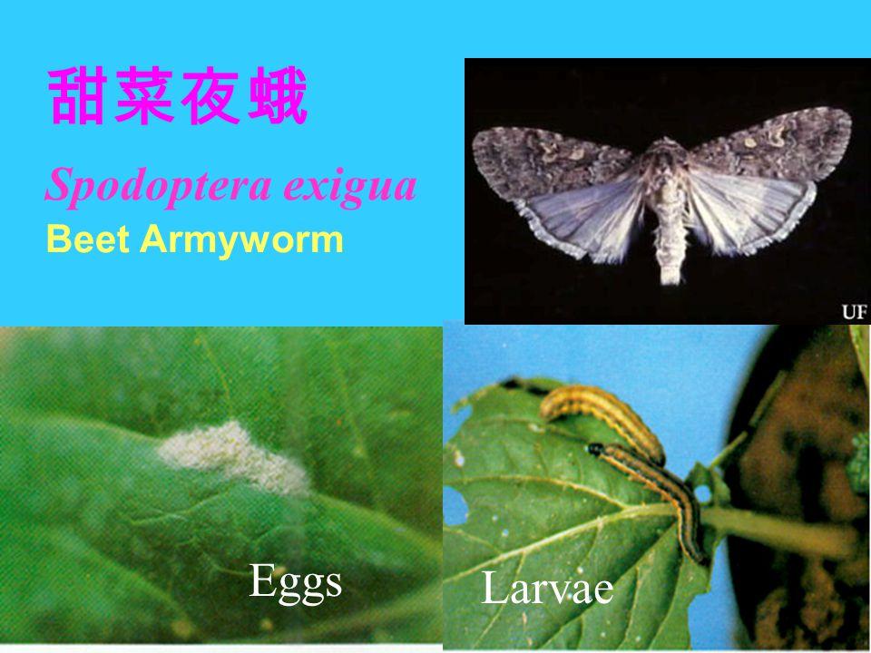 甜菜夜蛾 Spodoptera exigua Beet Armyworm