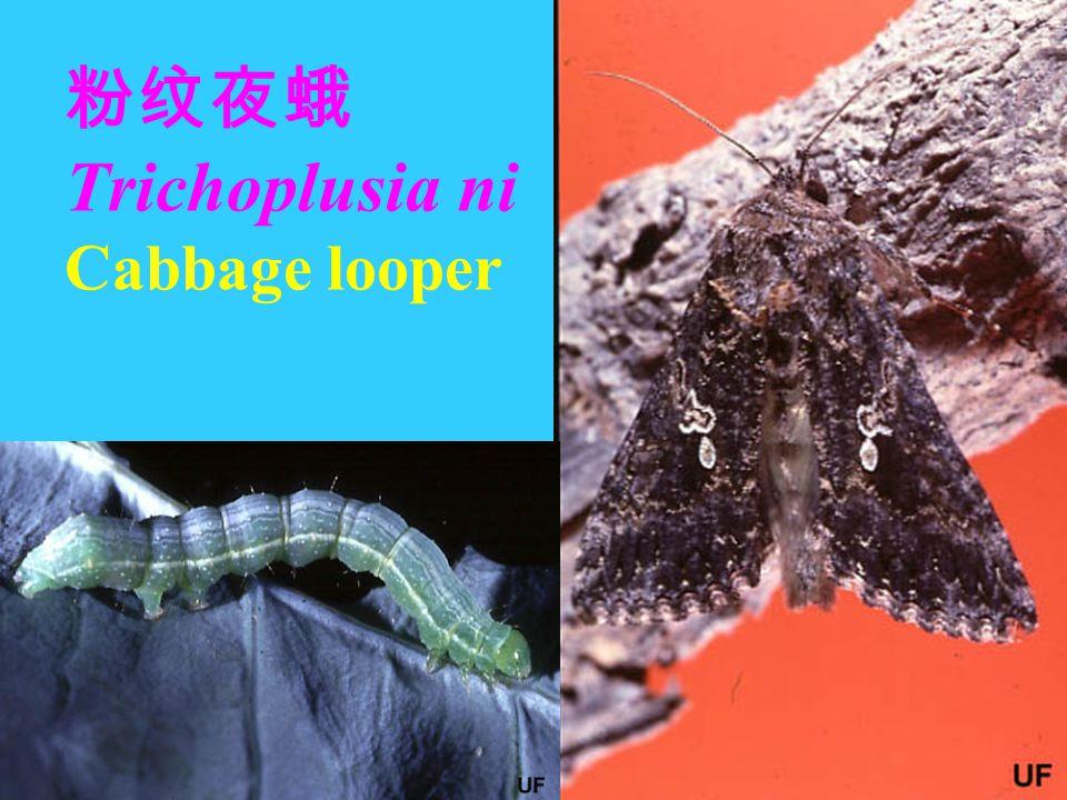 粉纹夜蛾 Trichoplusia ni Cabbage looper