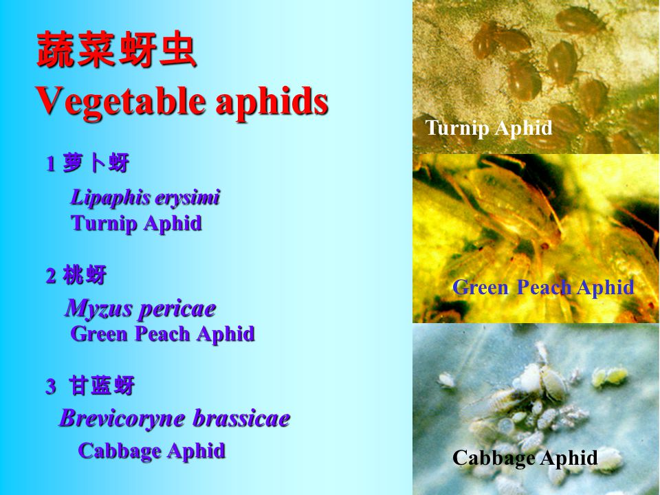 蔬菜蚜虫 Vegetable aphids Lipaphis erysimi Turnip Aphid