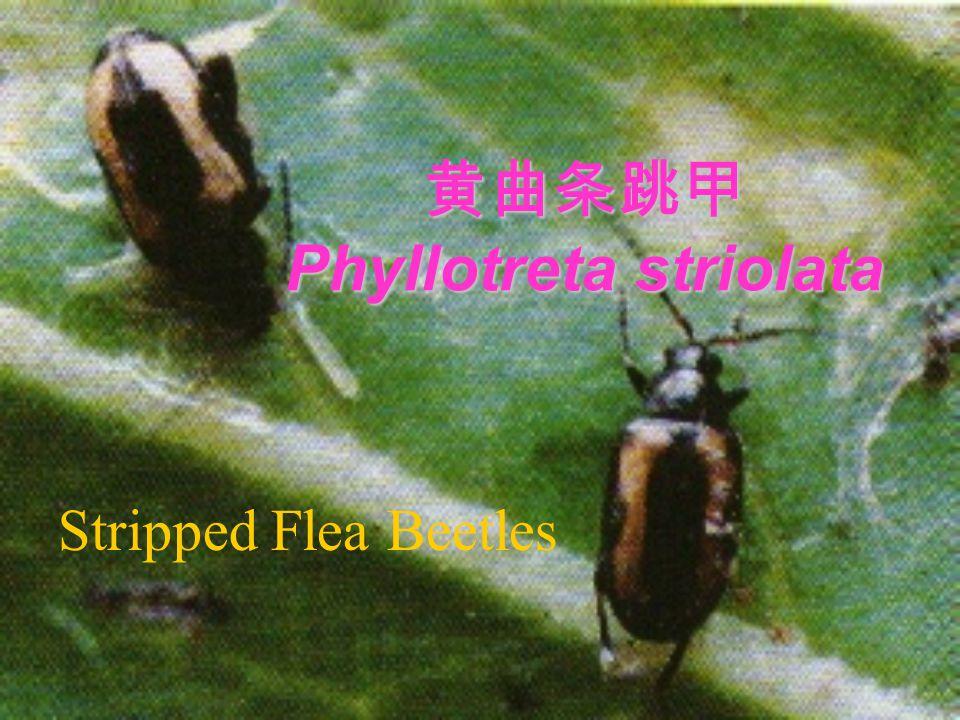 黄曲条跳甲 Phyllotreta striolata