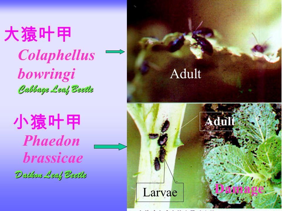 大猿叶甲 Colaphellus bowringi Cabbage Leaf Beetle