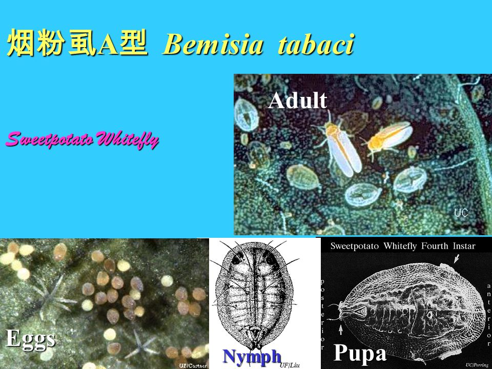 烟粉虱A型 Bemisia tabaci Adult Sweetpotato Whitefly Eggs Pupa Nymph
