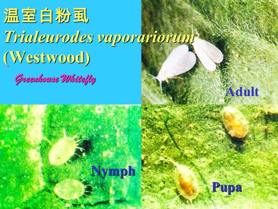 温室白粉虱 Trialeurodes vaporariorum (Westwood)