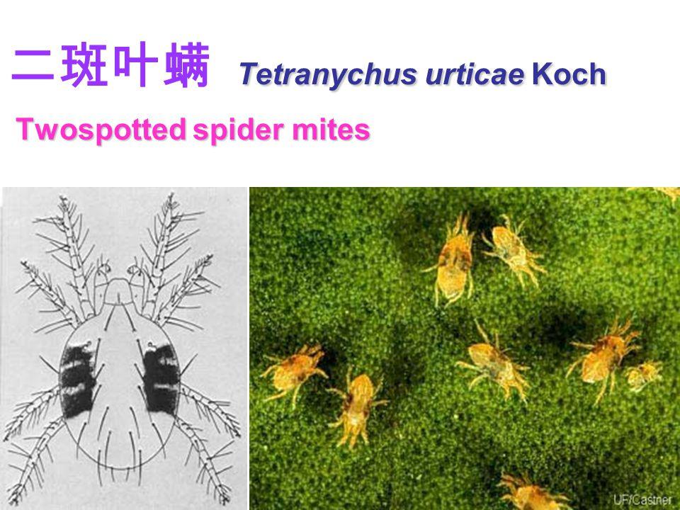二斑叶螨 Tetranychus urticae Koch Twospotted spider mites
