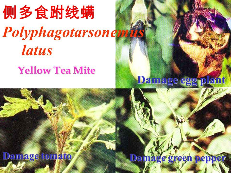 侧多食跗线螨Polyphagotarsonemus latus Yellow Tea Mite