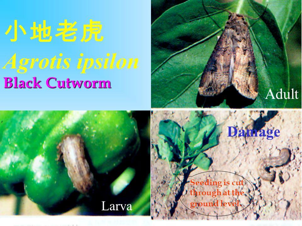 小地老虎Agrotis ipsilon Black Cutworm