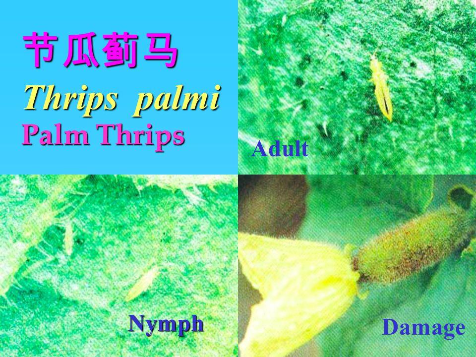 节瓜蓟马Thrips palmi Palm Thrips