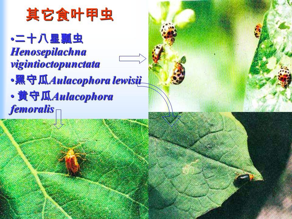 其它食叶甲虫 二十八星瓢虫 Henosepilachna vigintioctopunctata