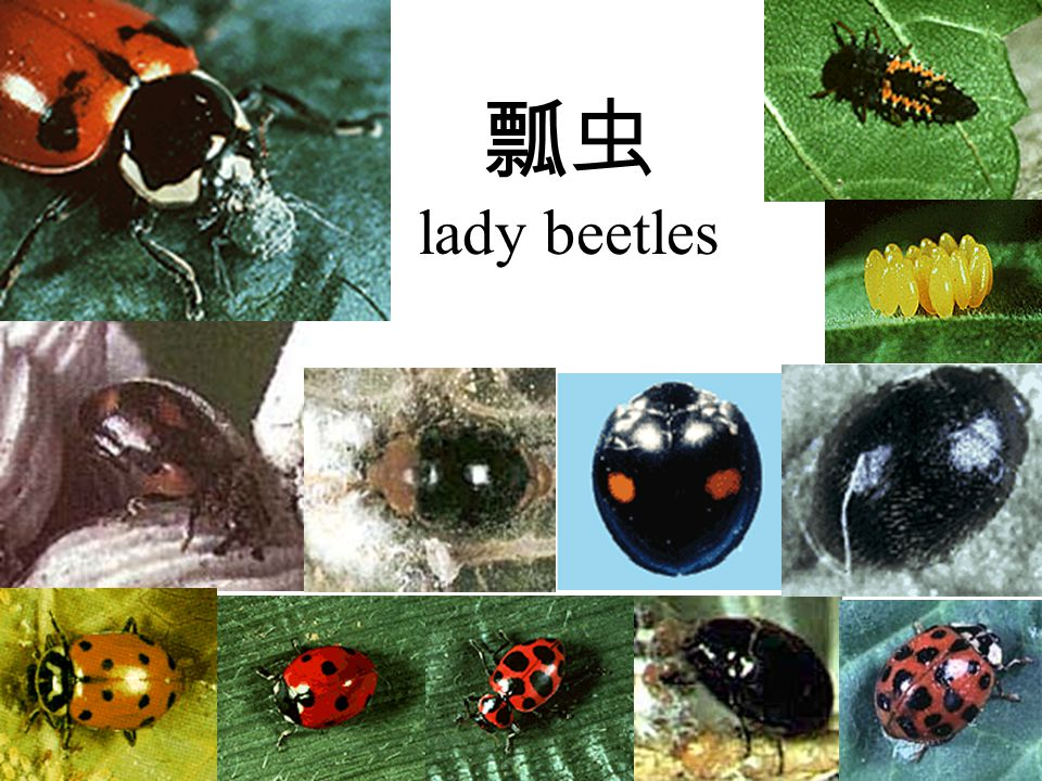 瓢虫 lady beetles