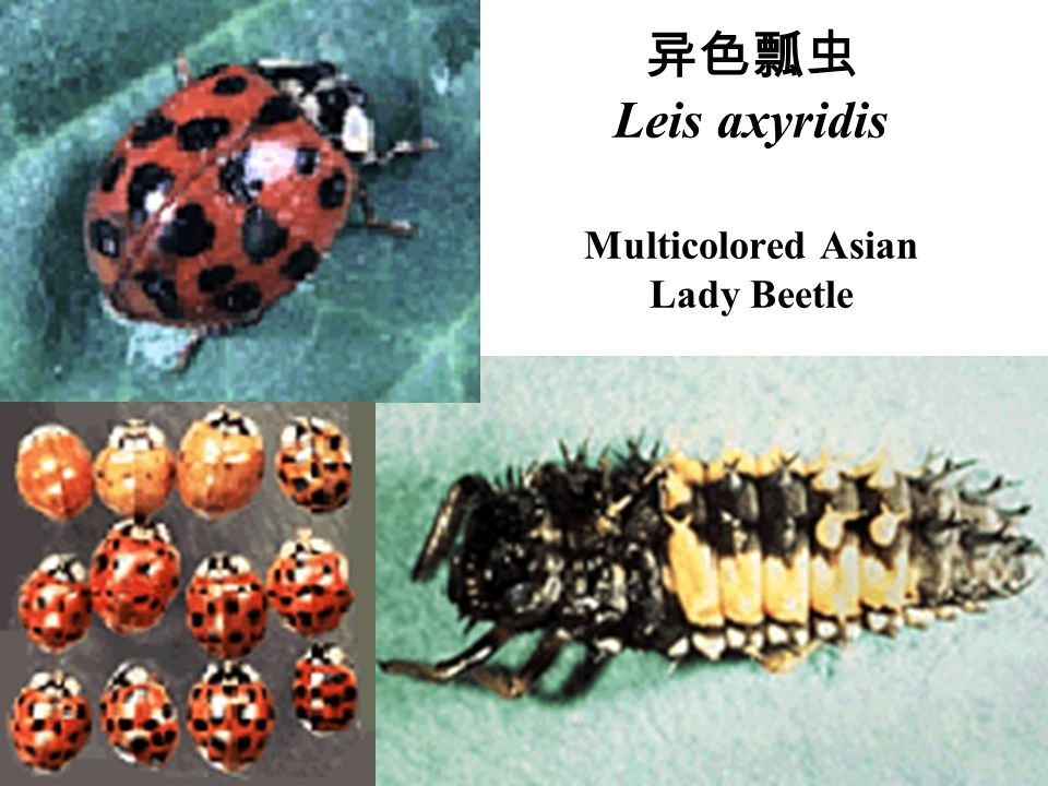异色瓢虫 Leis axyridis Multicolored Asian Lady Beetle
