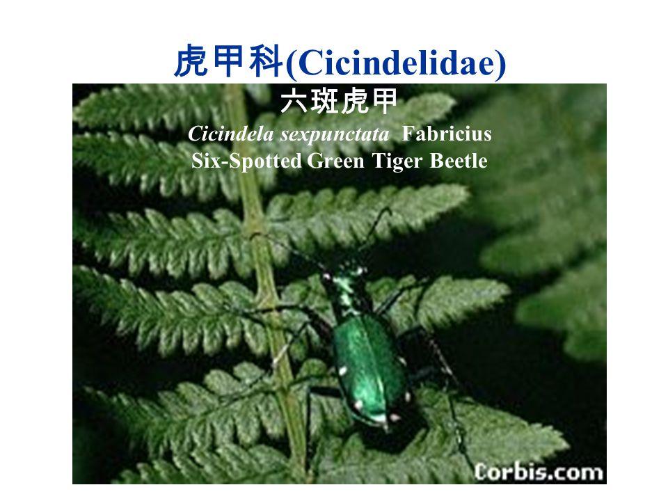 虎甲科(Cicindelidae) 六斑虎甲 Cicindela sexpunctata Fabricius Six-Spotted Green Tiger Beetle