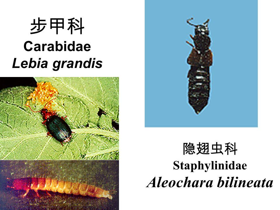 步甲科 Carabidae Lebia grandis