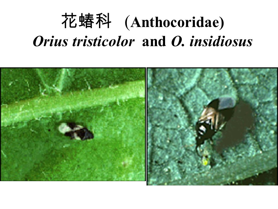 花蝽科 (Anthocoridae) Orius tristicolor and O. insidiosus