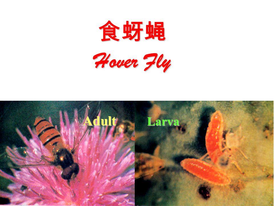 食蚜蝇 Hover Fly Adult Larva