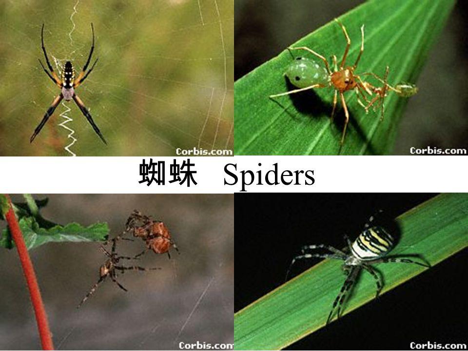 蜘蛛 Spiders