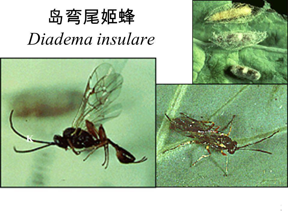 岛弯尾姬蜂 Diadema insulare
