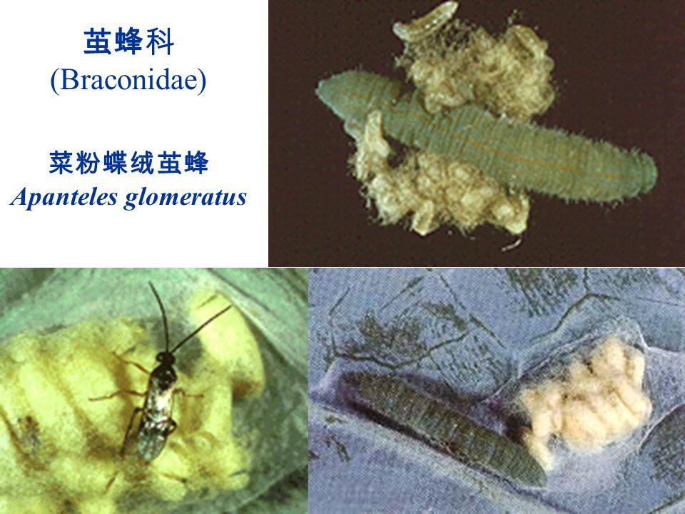 茧蜂科 (Braconidae) 菜粉蝶绒茧蜂Apanteles glomeratus