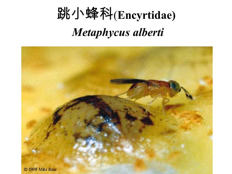 跳小蜂科(Encyrtidae) Metaphycus alberti