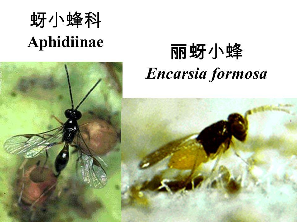 蚜小蜂科Aphidiinae 丽蚜小蜂 Encarsia formosa