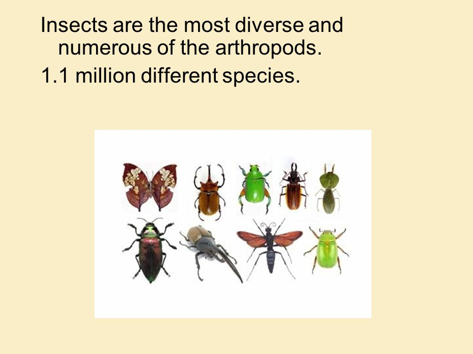 Insects are the most diverse and numerous of the arthropods.