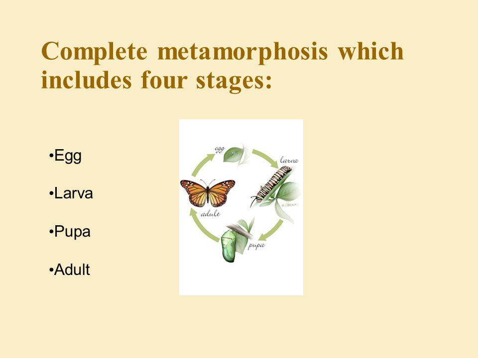 Complete metamorphosis which includes four stages: