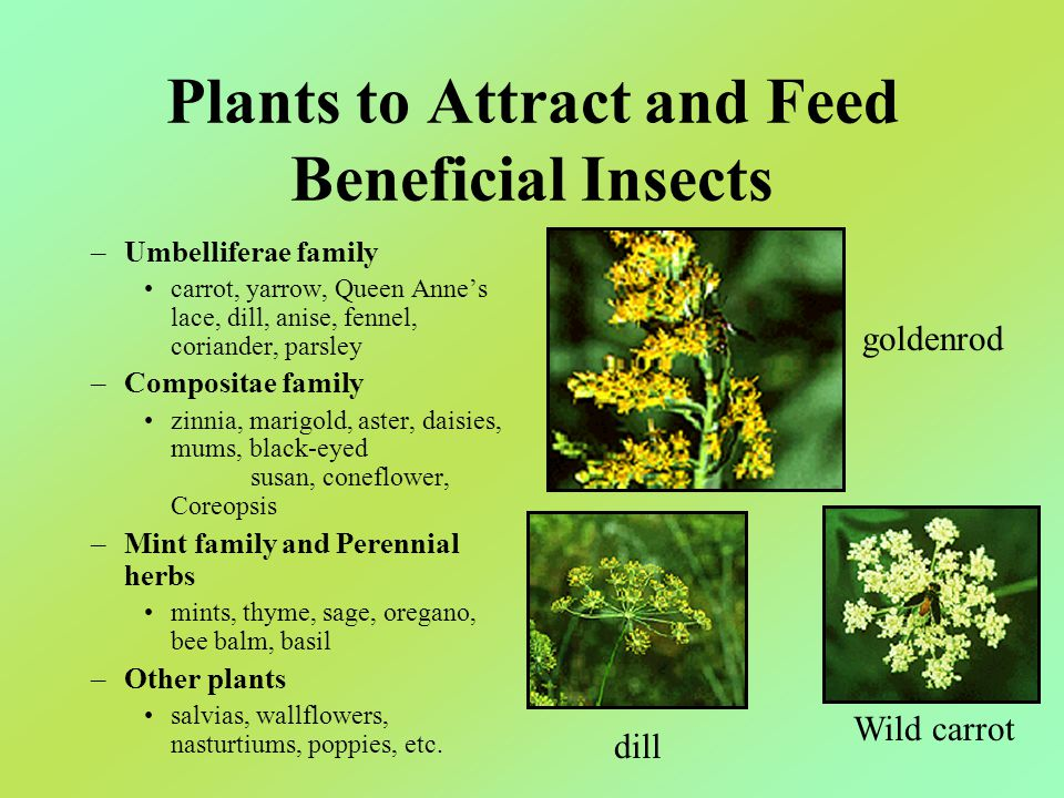 Plants to Attract and Feed Beneficial Insects