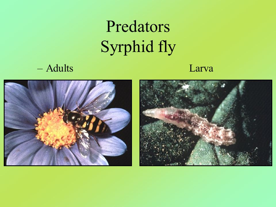 Predators Syrphid fly Adults Larva