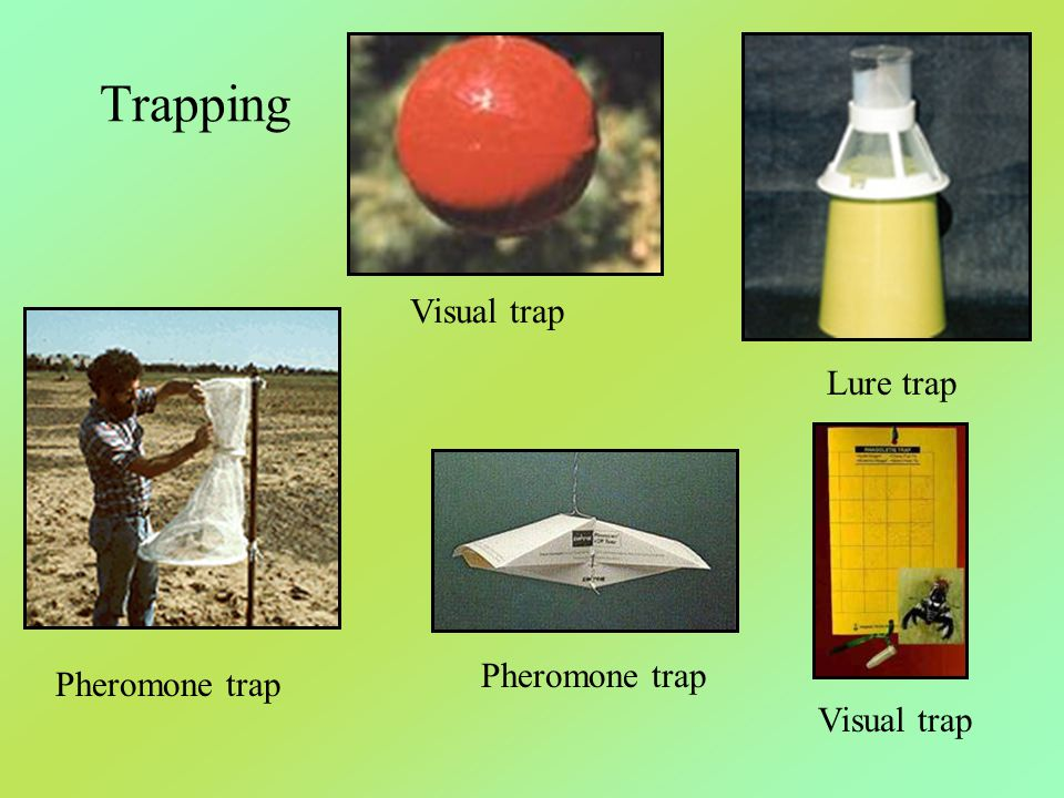Trapping Visual trap Lure trap Pheromone trap Pheromone trap