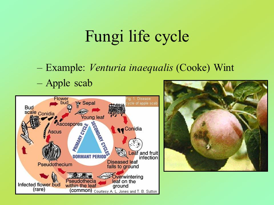 Fungi life cycle Example: Venturia inaequalis (Cooke) Wint Apple scab
