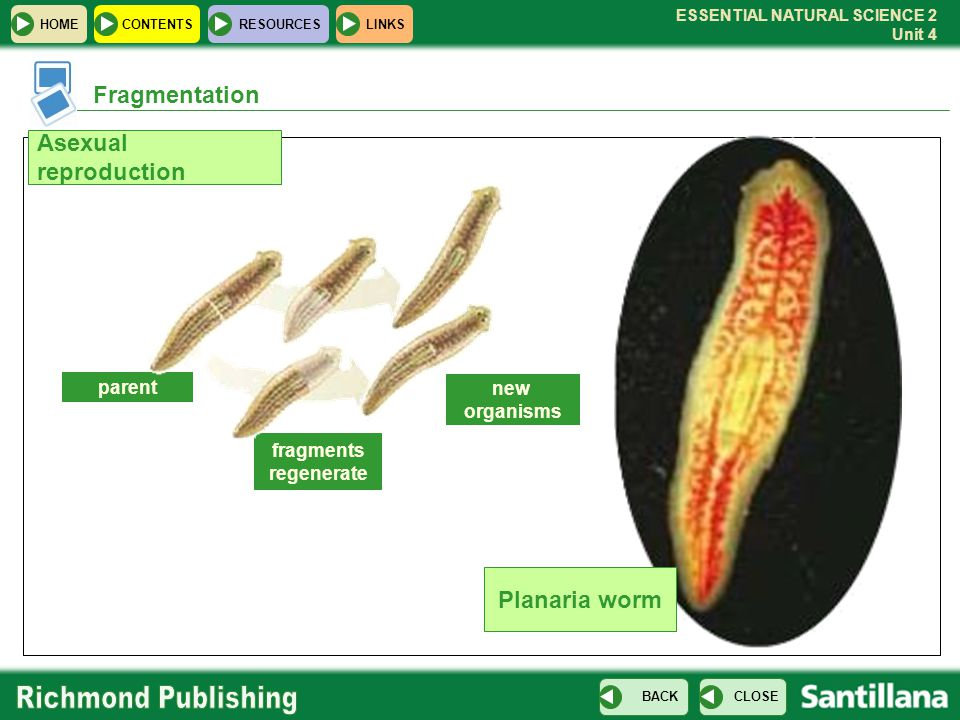 Fragmentation Asexual reproduction Planaria worm parent new organisms