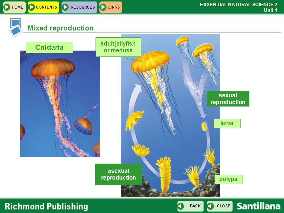 adult jellyfish or medusa