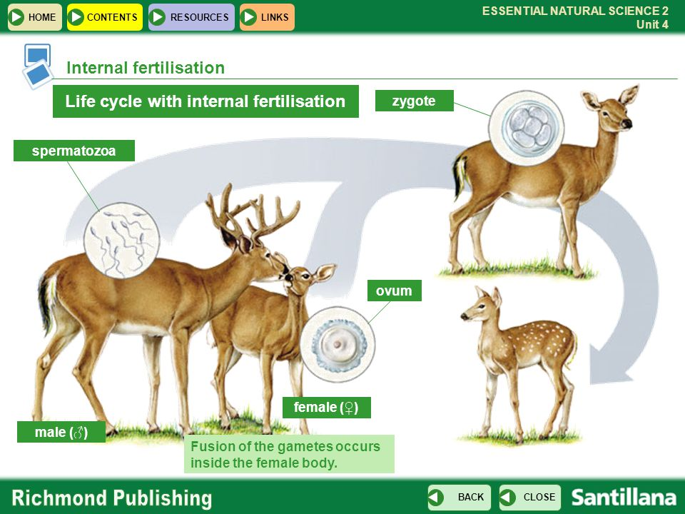 Life cycle with internal fertilisation