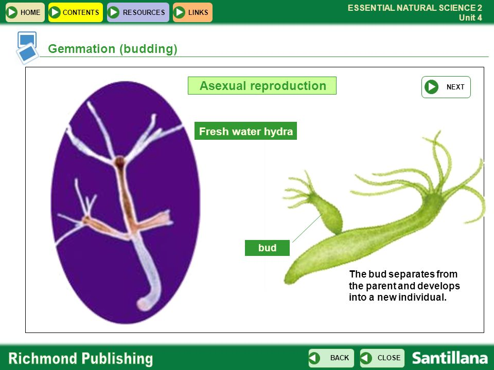 Gemmation (budding) Asexual reproduction Fresh water hydra bud