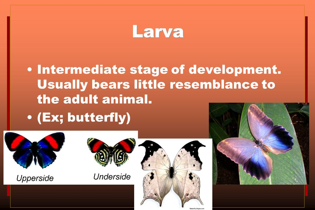 Larva Intermediate stage of development. Usually bears little resemblance to the adult animal.