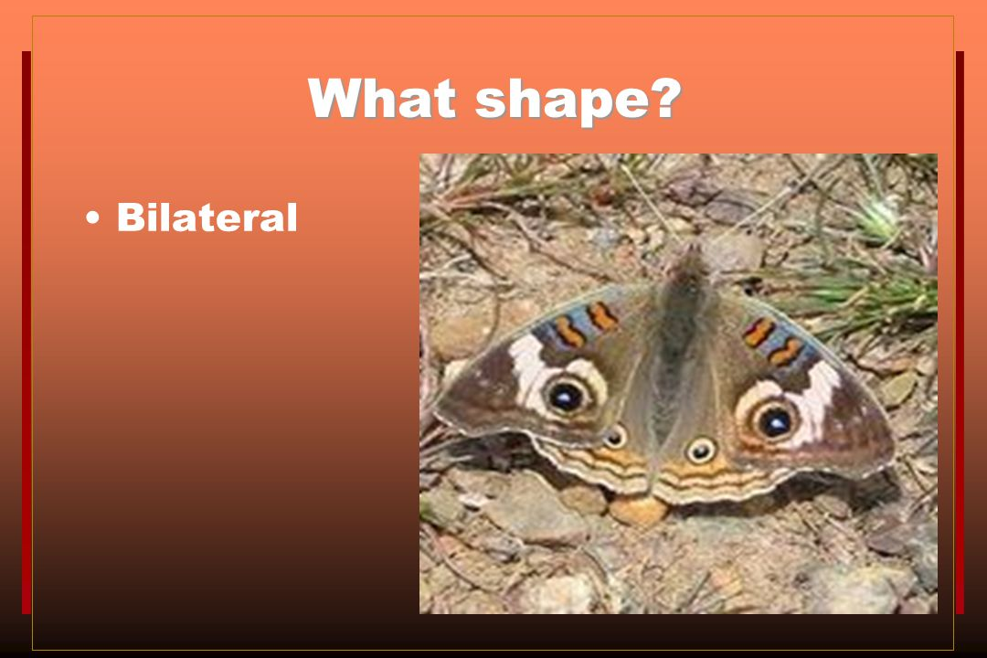 What shape Bilateral