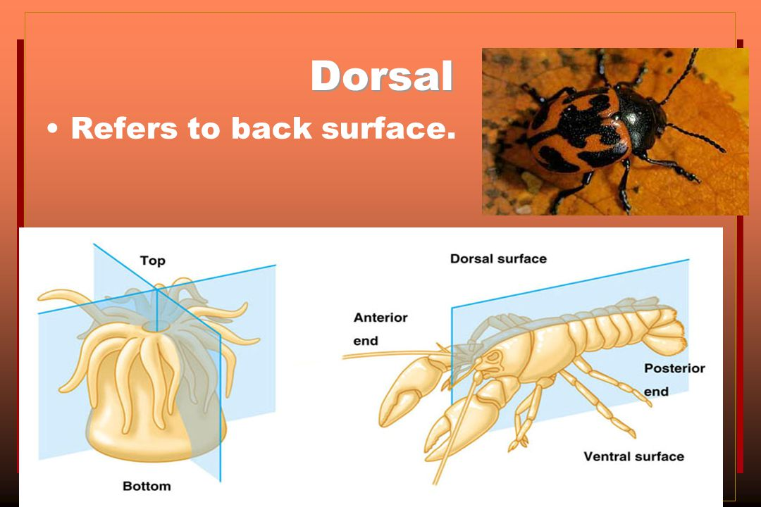 Dorsal Refers to back surface.