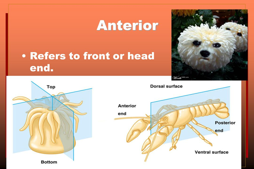Anterior Refers to front or head end.