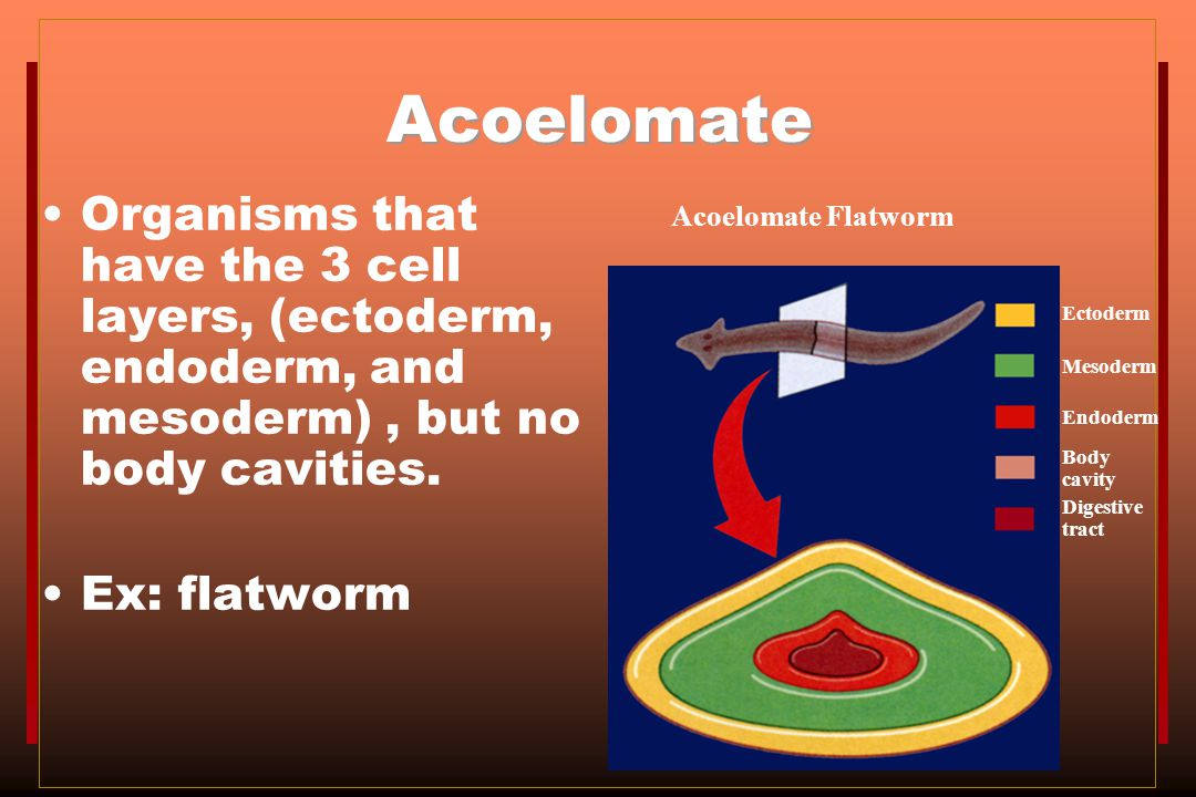 Acoelomate Organisms that have the 3 cell layers, (ectoderm, endoderm, and mesoderm) , but no body cavities.
