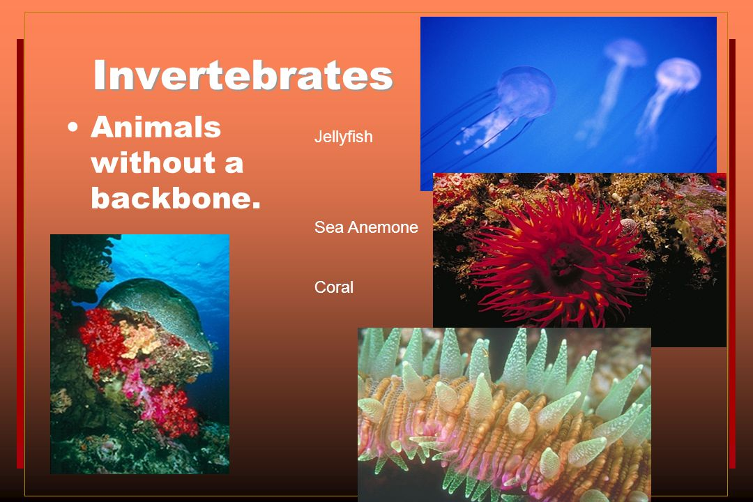 Invertebrates Animals without a backbone. Jellyfish Sea Anemone Coral