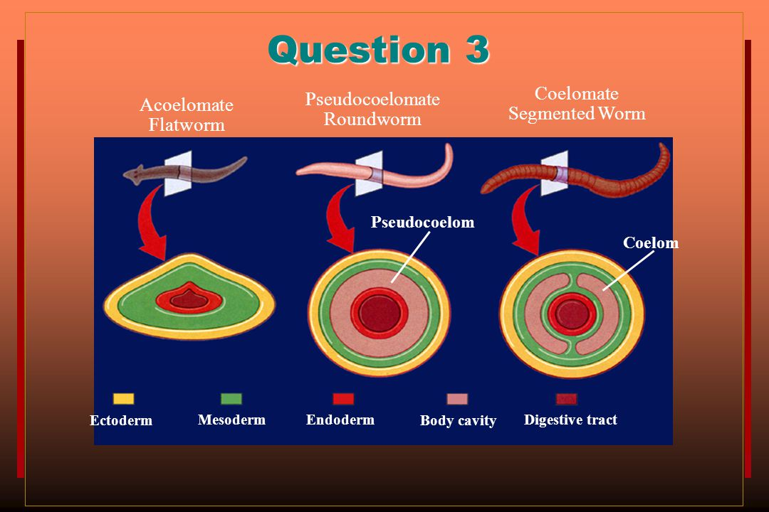 Question 3 Coelomate Segmented Worm Pseudocoelomate Roundworm