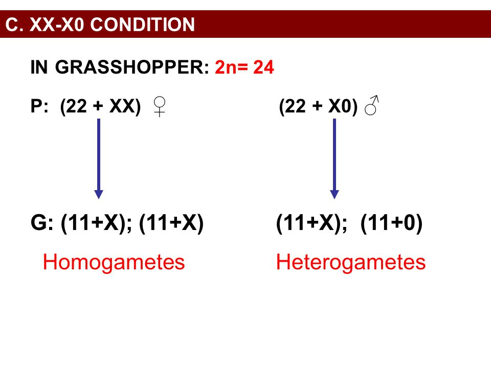 Homogametes Heterogametes